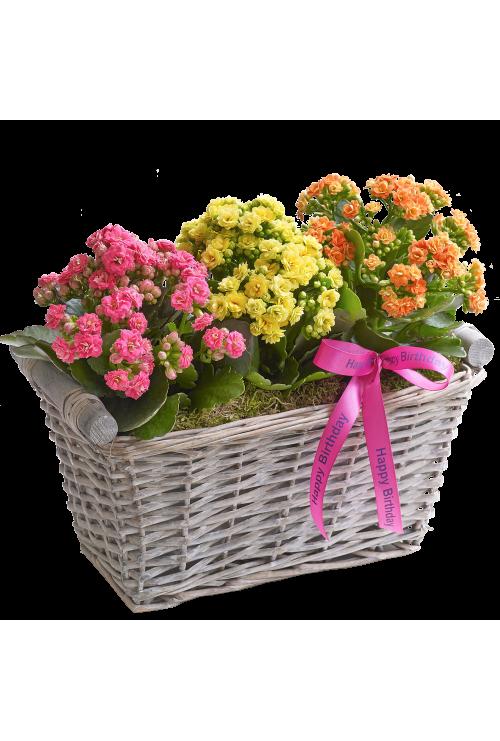 Happy Birthday Kalanchoe Basket