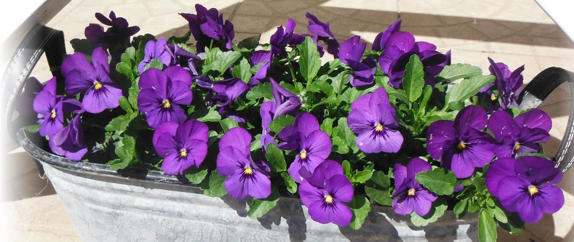 Flowering campanulas Pot